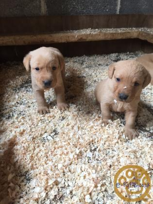Fox red Labrador retriever puppies