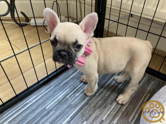 One female French Bulldog left
