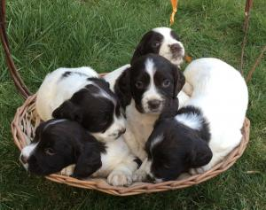 Purebred English Springer Puppies