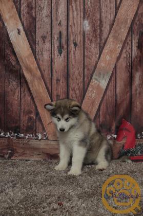Beautiful female Alaskan Malamute puppy