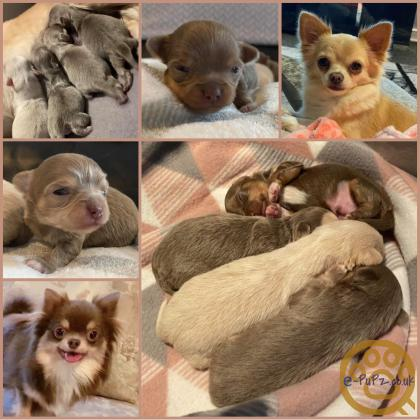 Chihuahua Pups For Sale