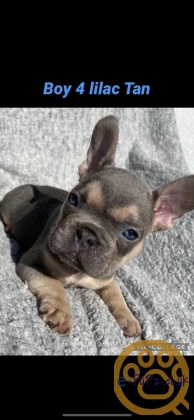FRENCH BULL PUPPIES