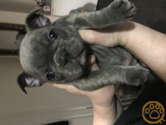 Lilac and Blue French bulldog puppies