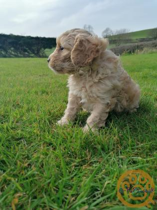 Male Cavapoo Pup - ready for new home
