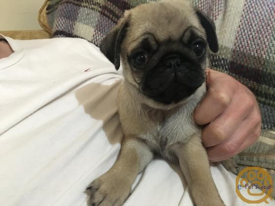Pug puppies KC registered Only 1 boy left