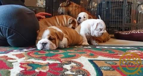 Kc Registered Bulldog puppies £2800