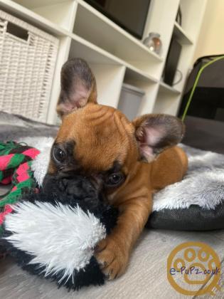 FrenchBull Dog x Shih Tzu