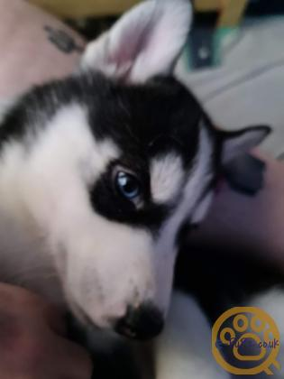 The Most Gorgeous Husky Puppies READY NOW!!!