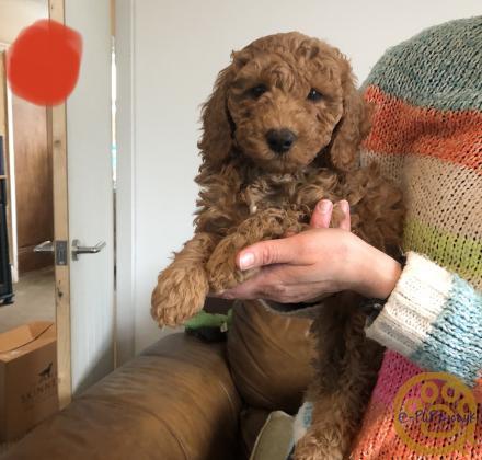 8 week old Miniature F1b labradoodle puppies