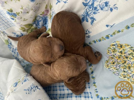 Outstanding fox Red Miniture Poodles