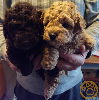 Toy Poodle Puppies two dogs
