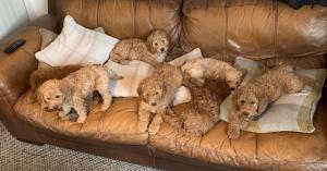 Miniature F1b labradoodle puppies