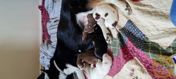 5 Pomsky puppies