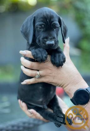 6 german short-haired pointer puppies