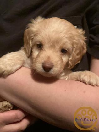 Very rare, mini cockador x poodle puppies