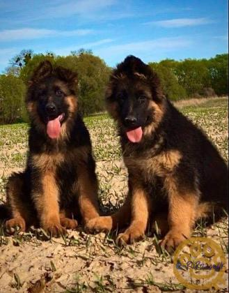 Beautiful German Shepherds long haired puppies