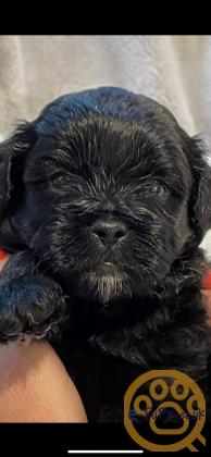Beautiful Shihpoo pups