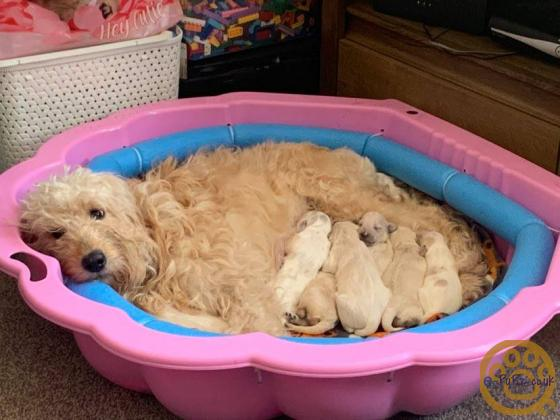 f2b miniature goldendoodle puppies