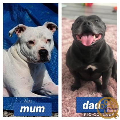 For sale Staffy pups Staffordshire Bull Terrier pups for sale