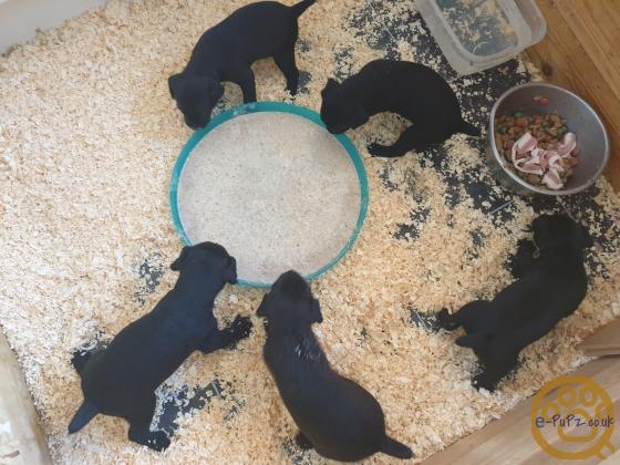 patterdale puppys for sale