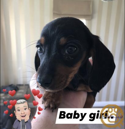 X3 beautiful miniature Dachshund puppies