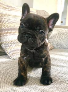 Beautiful Litter of 6 Brindle French Bulldog puppies