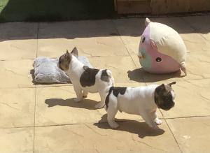 BS french bulldog puppies