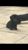 2 black boy miniature dachshunds ready to go now