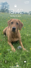 Basset hound cross Labrador puppies