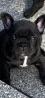 Devoue French Bulldog Puppys