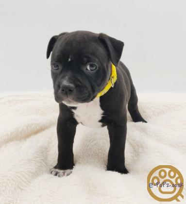 2 from 6 left Staffordshire bull terrier puppies KC registered