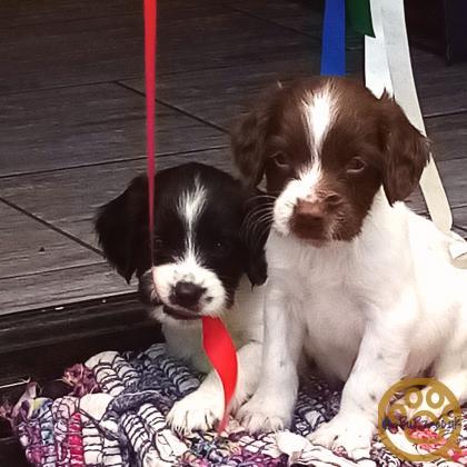 4 beautiful sprocker pups for sale