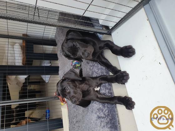 KC registered  Pedigree Great Dane Puppies