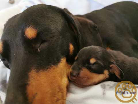 Adorable black and tan puppies