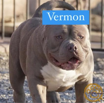American pocket bully puppies for sale