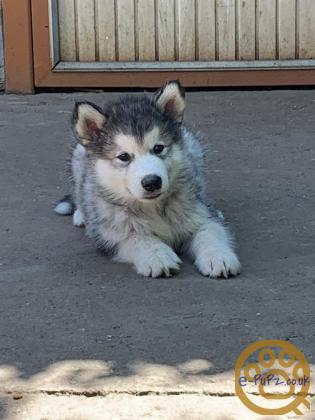 Beautiful Alaskan Malamute - both male and female puppies for sale (brother and sister)