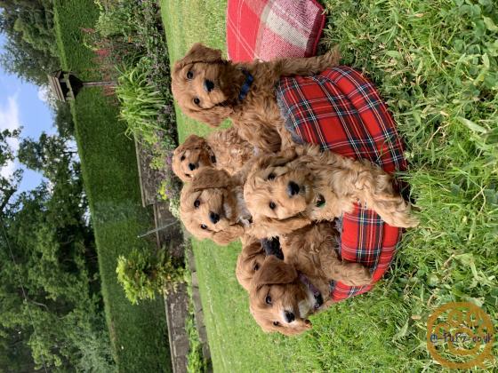 Beautiful F1 Cockapoo Puppies