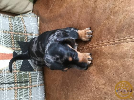 Beautiful KC registered puppys for sale