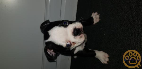 Bostern terrier