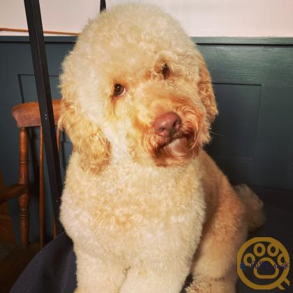 F2 cockapoo puppies from breeder with 25 years experience