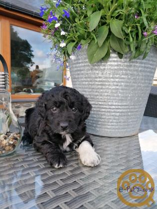 Gorgeous colliepoo puppies healthtested
