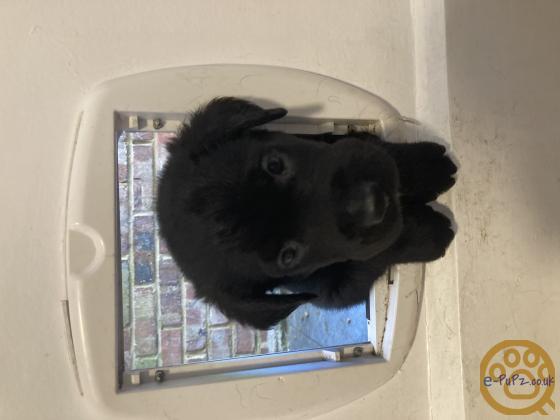 Gorgeous Lab puppies