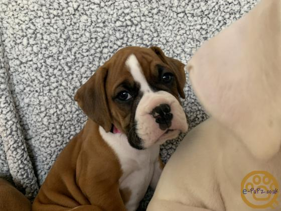 Gorgeous Red Boxer Girl