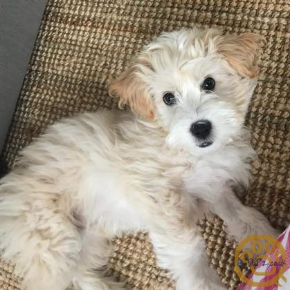 Handsome Labradoodle Puppy