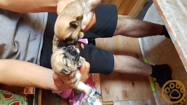 Jackie Bichon Puppies