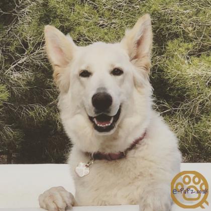 KC Registered German Shepherd Pups