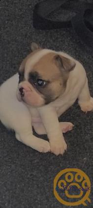 Male French bull puppy