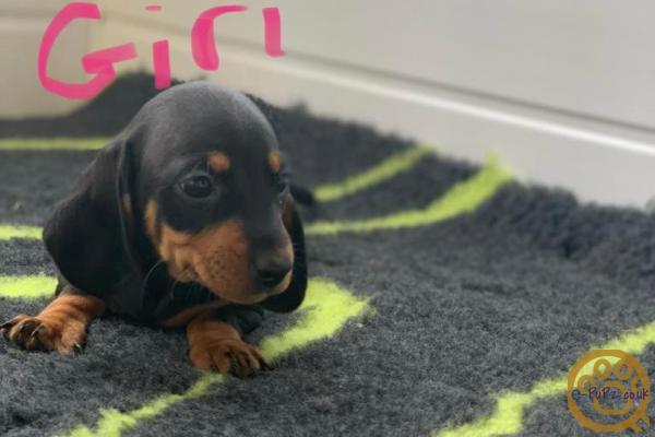 Miniature Dachshund Puppies Pra Clear
