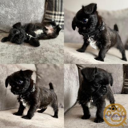 Now ready cavapugchons pug x cavachon 8 weeks old
