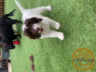 PRA clear Beautiful Cockapoo Puppies fully vaccinated ready to go